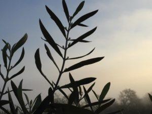 olive-begins